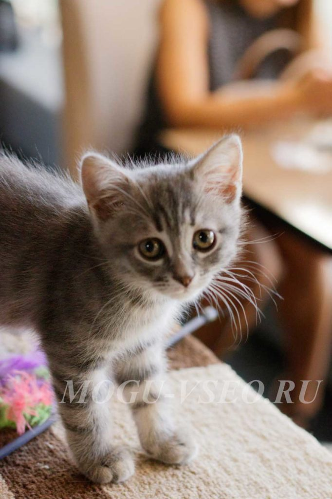 кошачье кафе серый котенок фото