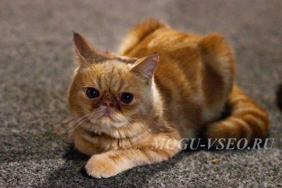 котокафе рыжий кот фото